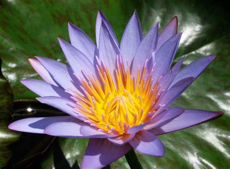 lotus with water water lotus