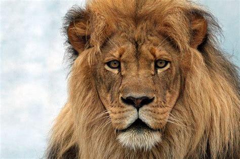 google images lion reminder leave lion feeding to the professionals lion