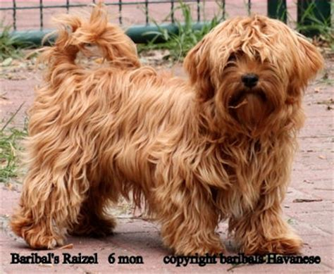 gold havanese colors colours in havanese havaneser farben info chocolate brown colour color