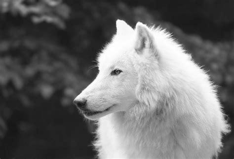 black and white wolf 26 free wallpaper hdblackwallpaper com black and white wolf 28 free wallpaper hdblackwallpaper com
