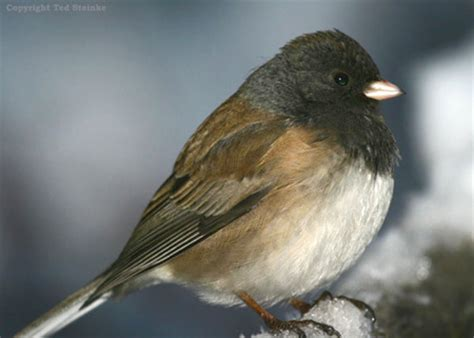 backyard birds utah dark eyed junco