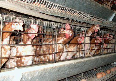 allevamento galline in gabbia ottobre 2010 perch 232 la vita 232 un brivido che vola via