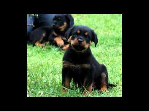 8 week rottweiler puppy 8 weeks rottweiler puppy