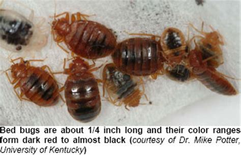 how long can bed bugs live without feeding how long can bed bugs go without eating ripoff report new