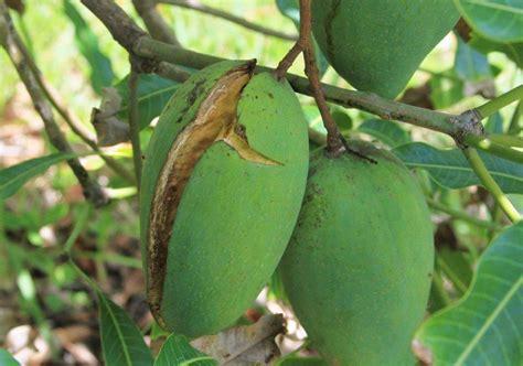 Pupuk Kalsium Untuk Mangga mengatasi buah mangga pecah retak saat hir