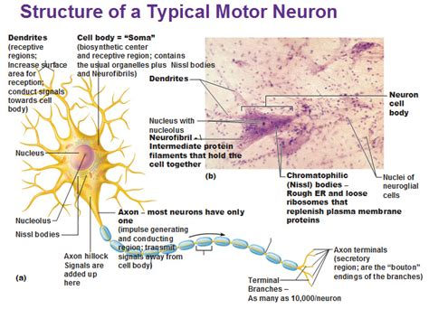 neuron diagram and functions structure of a typical motor neuron dendrites neurofibril