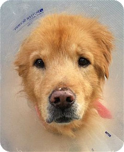 golden retriever jacksonville fl midas adopted jacksonville fl golden retriever