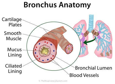 diagram of bronchioles bronchi definition location anatomy functions pictures