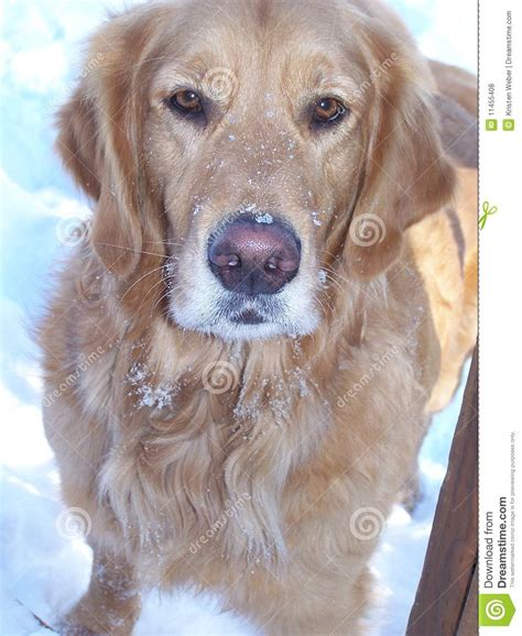 snow golden retrievers golden retriever snow nose royalty free stock photos image 11455408