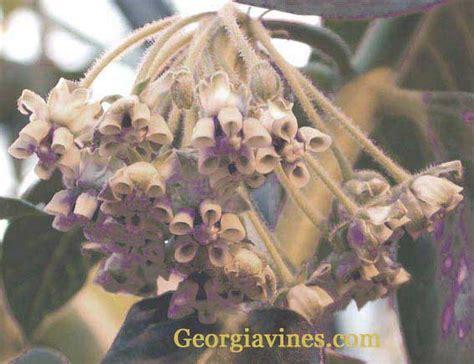 Buy Asclepias Plants | curassavica Silky Scarlet Milkweed ... Asclepias Cancellata