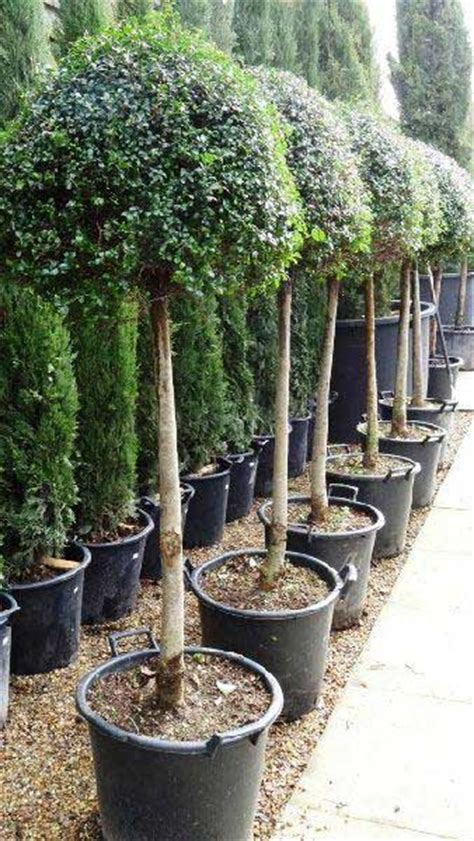 ligustrum topiary trees topiary lollipop privet topiary ligustrum