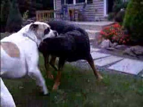 rottweiler vs american bulldog american bulldog vs rottweiler pt 1