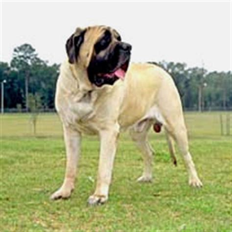 bullmastiff colors bullmastiff care a lot pet supply
