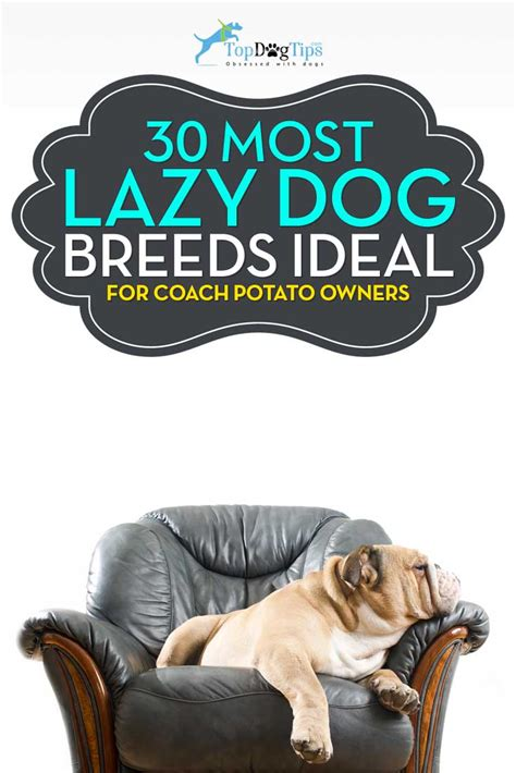 best couch potato dog 30 most lazy dog breeds perfect for a couch potato owner