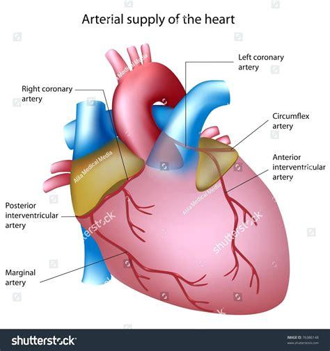 diagram of human arteries diagram 3 chambered diagram