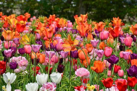 giardino tulipani amsterdam tulipani in primavera sotto il sole luminoso nel giardino
