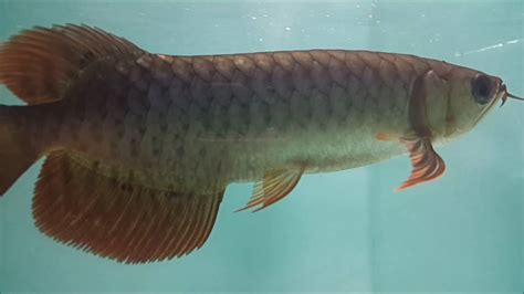 Ikan Arwana 15 Cm 20 cm www rully arwana
