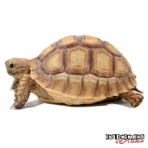 how long should a tortoise heat l be on large baby sulcata tortoises for sale underground reptiles