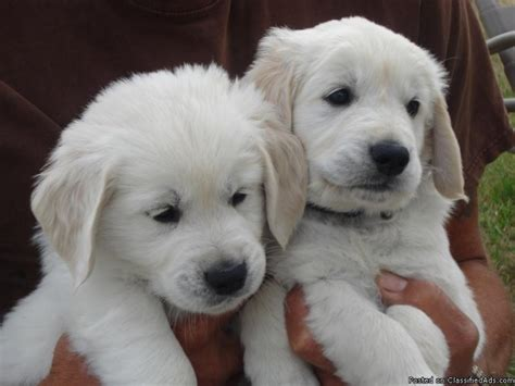 white golden retriever puppies for sale white golden retriever puppies for sale 23 high resolution wallpaper
