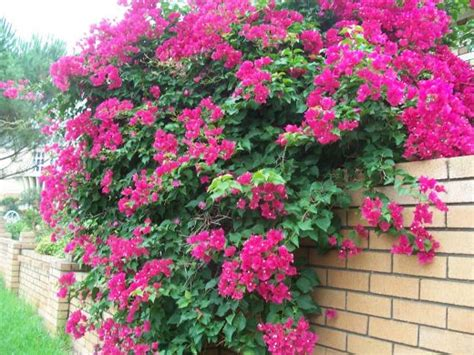 climbing plant names pictures of bougainvilleas photo gallery hubpages