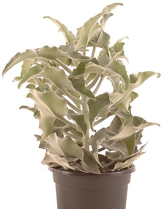 Pianta Dalle Foglie Vellutate E Odorose by Piante Succulente Abitare Homegate Ch