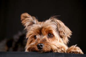 my yorkie is breathing fast disease check your pet ebervet petcare