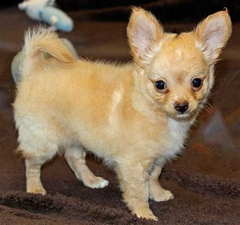 dreammaker yorkies different breeds for sale at teacup puppies store autos post