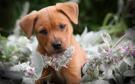hd cute puppy wallpaper free download jpg desktop background cute puppy wallpapers for desktop 58 images