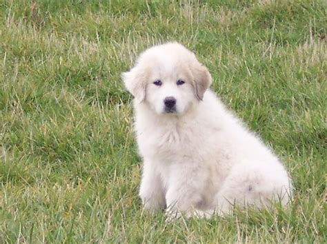 puppies okc registered great pyrenees puppies picture