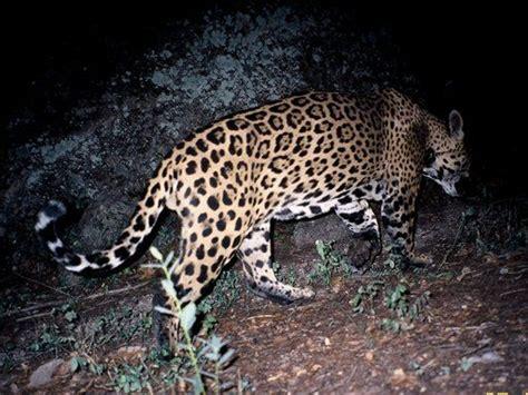 jaguar spotted in arizona