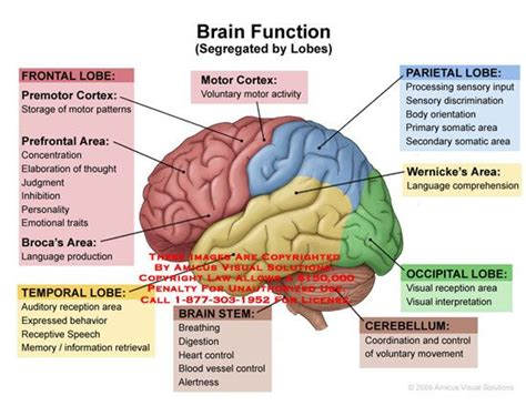 diagram of brain lobes lateral view of brain with lobes colored and functions