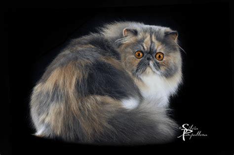 foto dei gatti persiani foto dei gatti persiani 28 images razze di gatti per