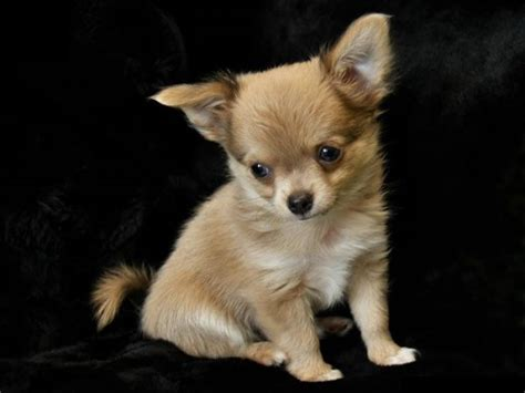 miniature puppy breeds most beautiful small dogs breeds