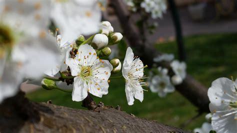 fiori albicocco fiore di albicocco amici in fiore