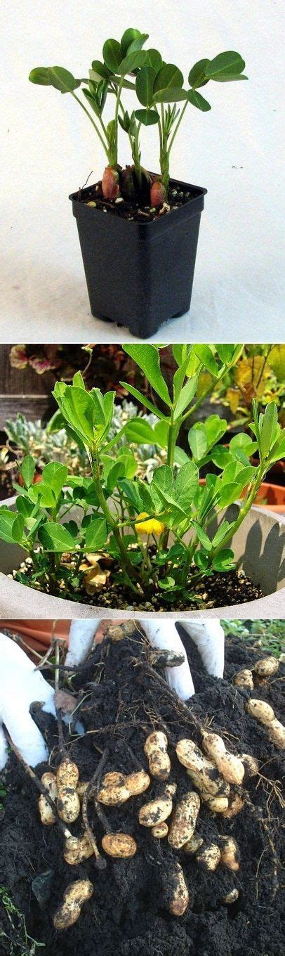 how to grow peanuts an easy guide for gardening beginners 195 best g plants individual images on pinterest