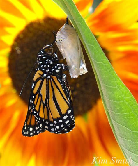 monarch butterfly monarch butterfly migration goodmorninggloucester
