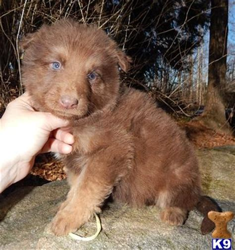 liver german shepherd puppies for sale german shepherd puppy for sale chocolate for late says i you 4