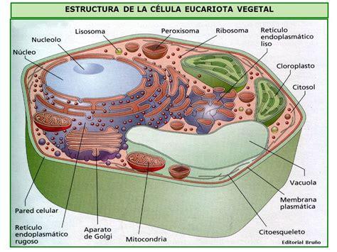 estructura de la clula eucariota introducci 211 n a la c 201 lula ppt video online descargar