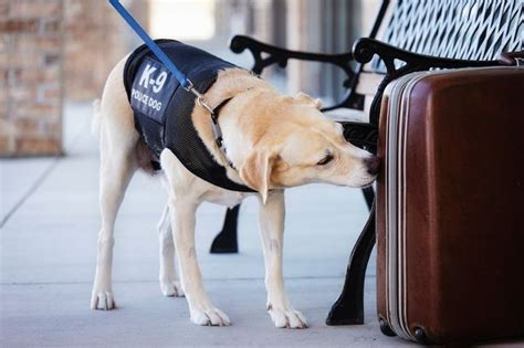sniffer dogs honey bees might be trained to replace sniffing dogs metro news