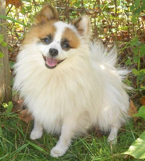 pomeranian sheltie mix puppies for sale sheltie pomeranian mix www imgkid the image kid has it