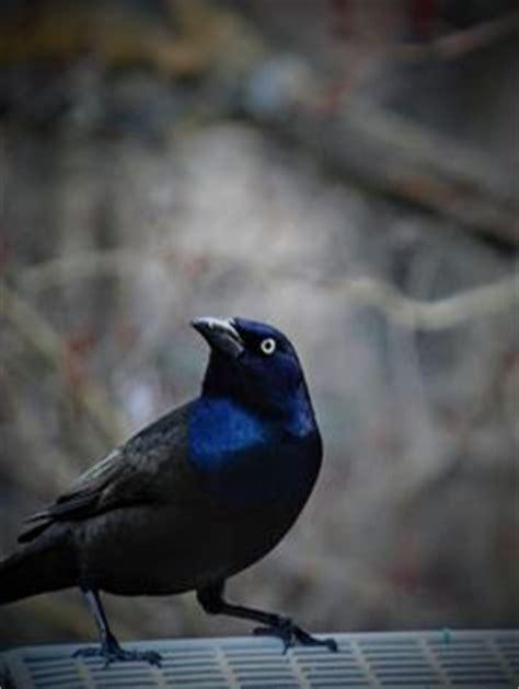 Yellow Headed Blackbird Photo By Robert Ron Grove 2 Blue Bird On Neck