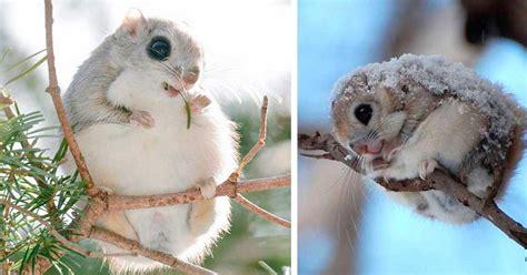imagenes de animales hermosos del mundo estas raras ardillas voladoras son los animales m 225 s