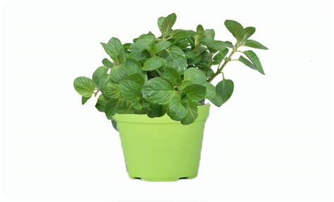 piante di limoni in vaso piante limoni in vaso prezzi limone meyer piante da giardino