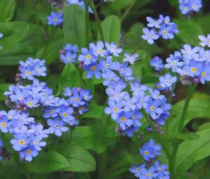 Drought Resistant Flowers Forget Me Not Myosotis Sylvatica Seeds
