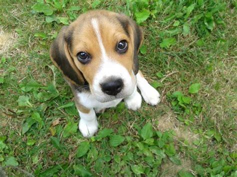 3 month puppy 3 month beagle puppy 1001doggy