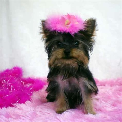 teacup yorkie pup yorkies for sale get teacup yorkie puppy gabby