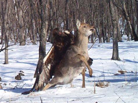 How Do You Take Blinds Down Golden Eagle Attacks A Sika Deer Business Insider