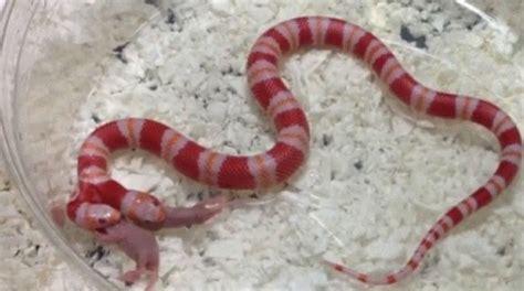 serpente a 2 teste i serpenti a due teste ecco come ragionano e cooperano
