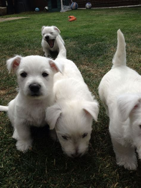 westie puppies for sale westie puppies for sale wellingborough northtonshire pets4homes