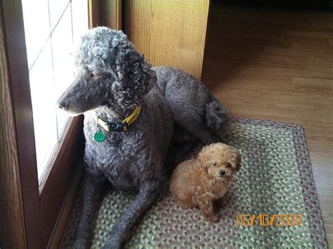 puppies for sale bloomington il for sale illinois breeder poodle puppies miniature poodles puppy moyen poodle